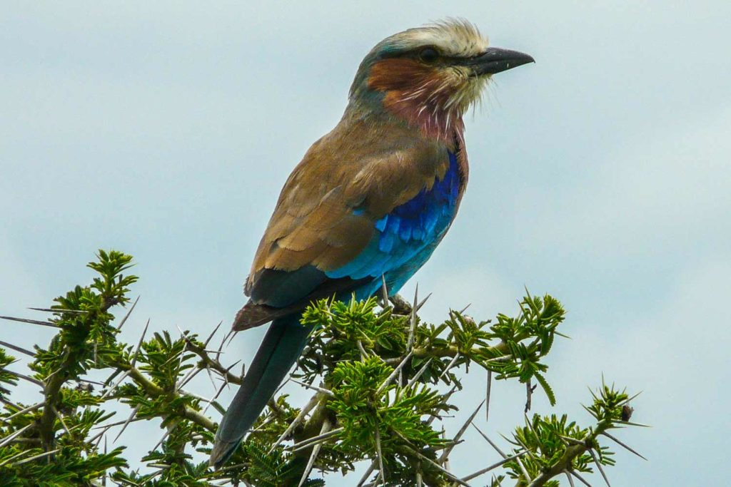 Image of Lilac Breasted Roller