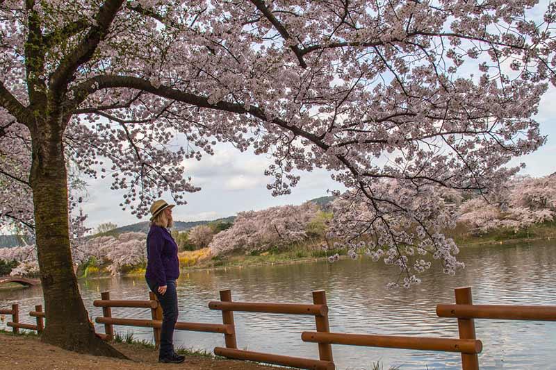 Image of Cherry Blosson Tree in Gyeongju, South Korea